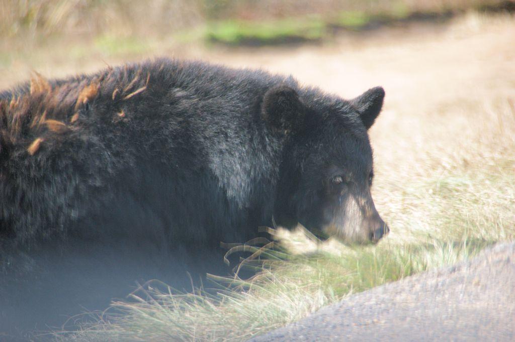 サファリランドの熊