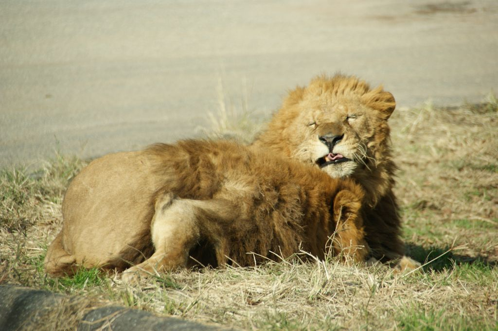 サファリランドのライオン