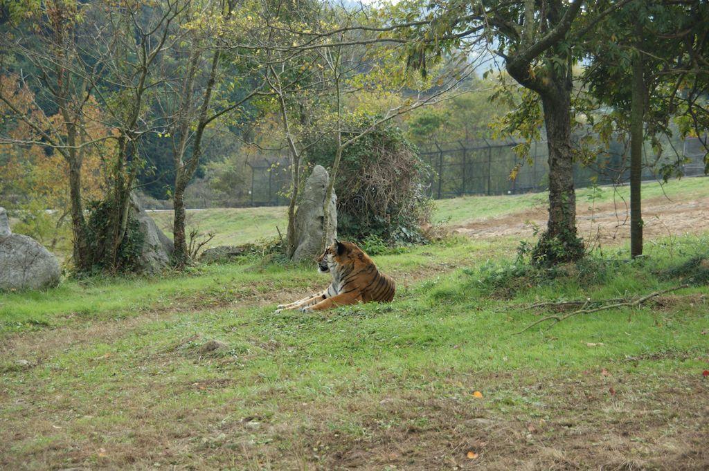 サファリランドのトラ