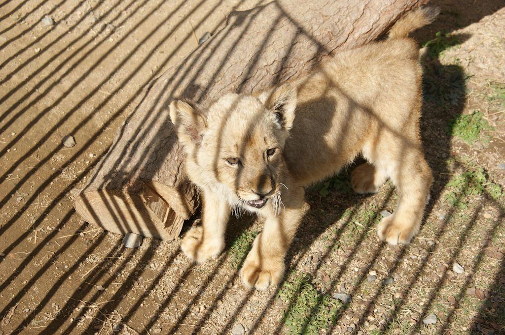 サファリランドの仔ライオン