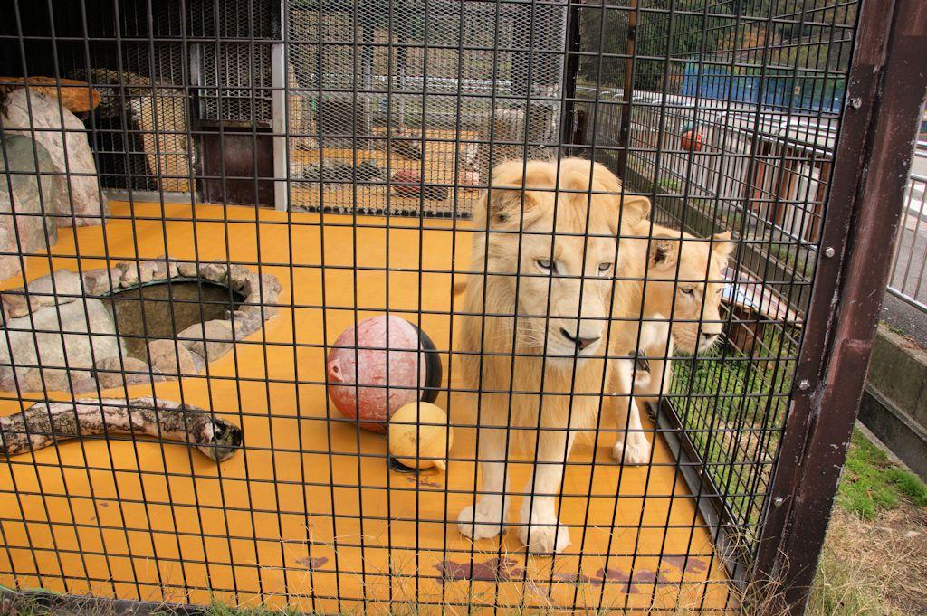 サファリランドのホワイトライオン