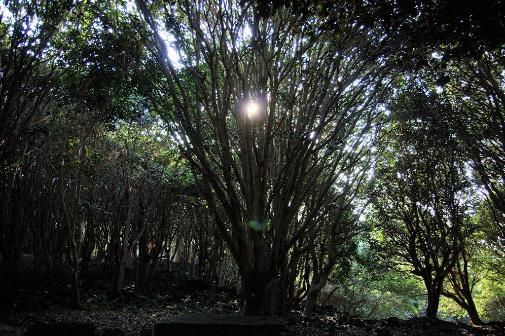 笠山椿群生林