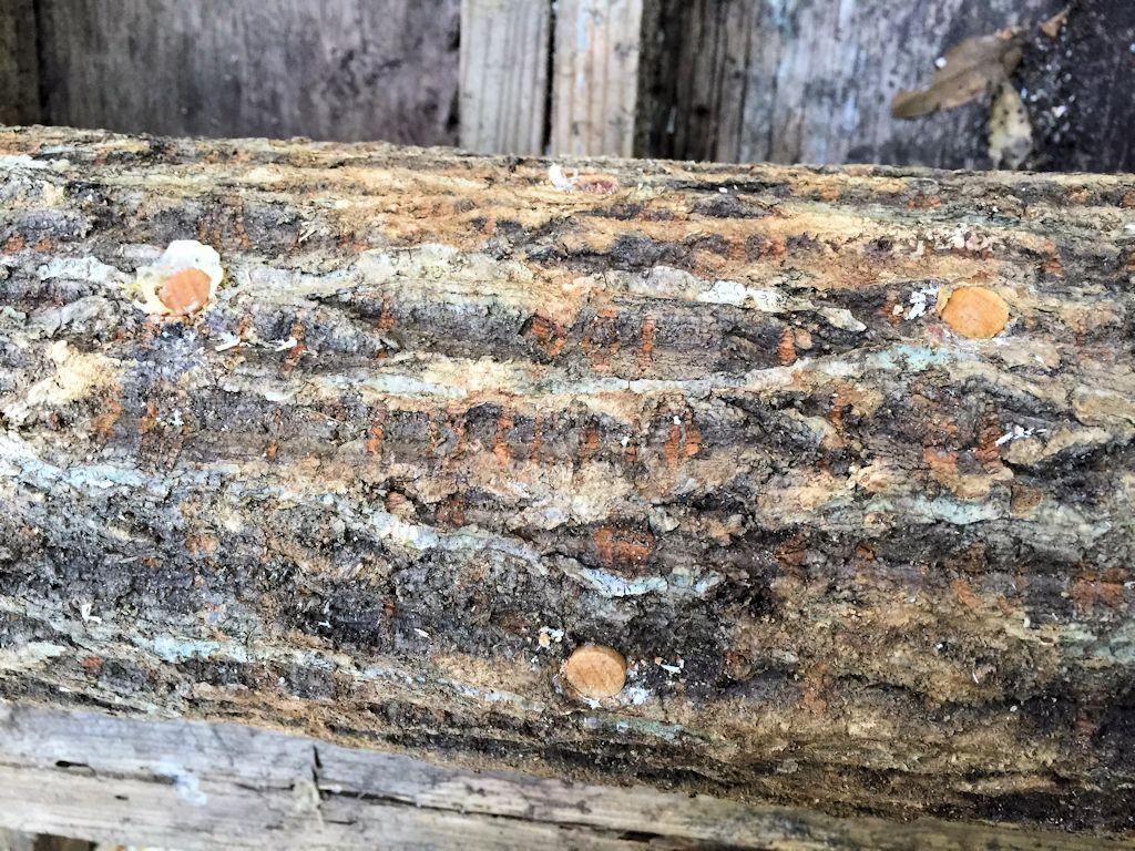 原木椎茸栽培