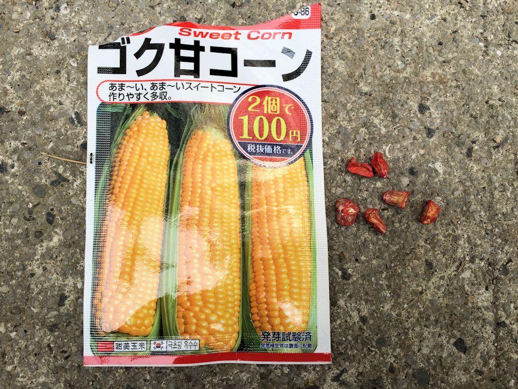 トウモロコシの種を植えてみた