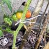 ミニトマト(イタリアントマト)の実が赤くなってきた