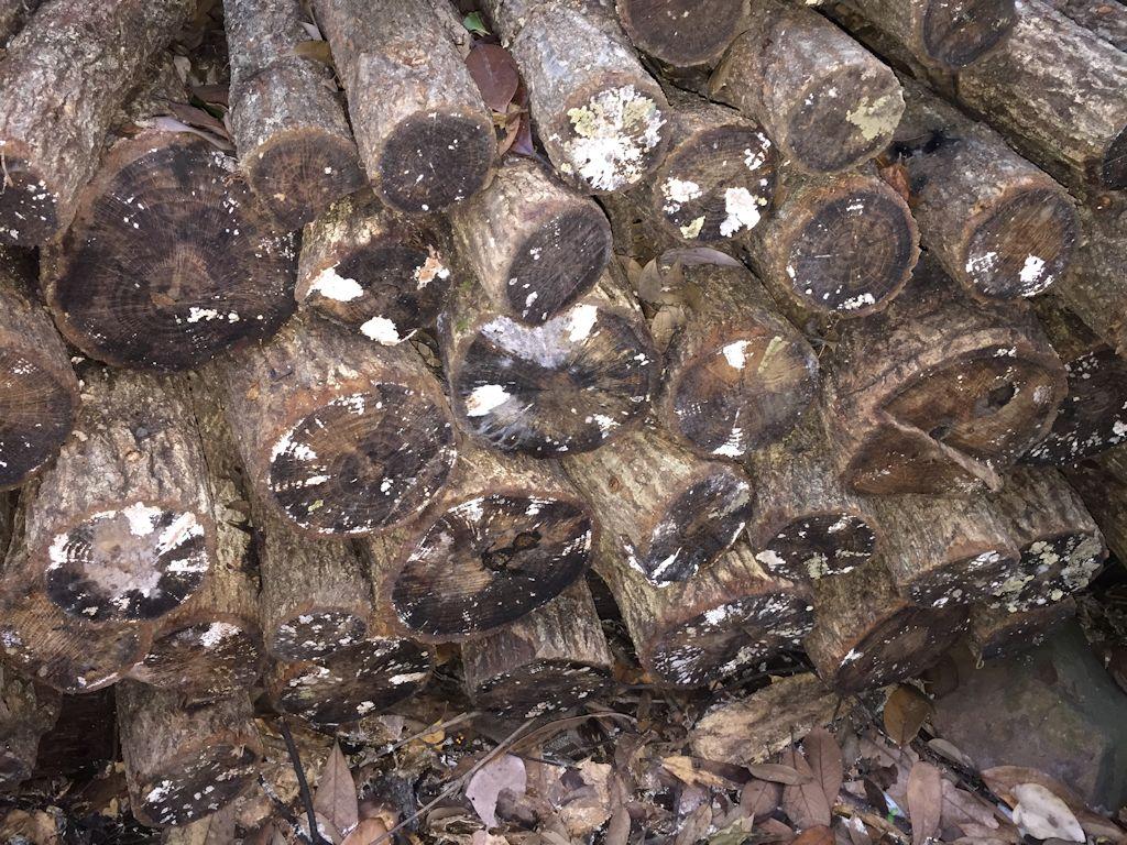 原木椎茸の菌