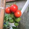 イタリアントマト初収穫