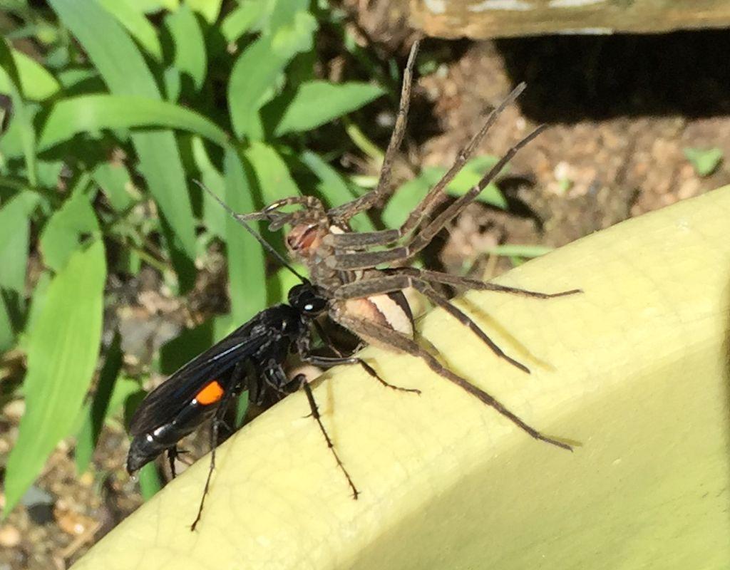 オオモンクロベッコウがイオウイロハシリグモを捕獲