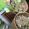 固定種の芽キャベツ・ブロッコリー・緑豆