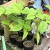 庭の枝豆と緑豆(豆もやし)