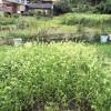 秋に植えてみたい野菜(ニンニク)