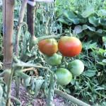 畑のトマトとナス