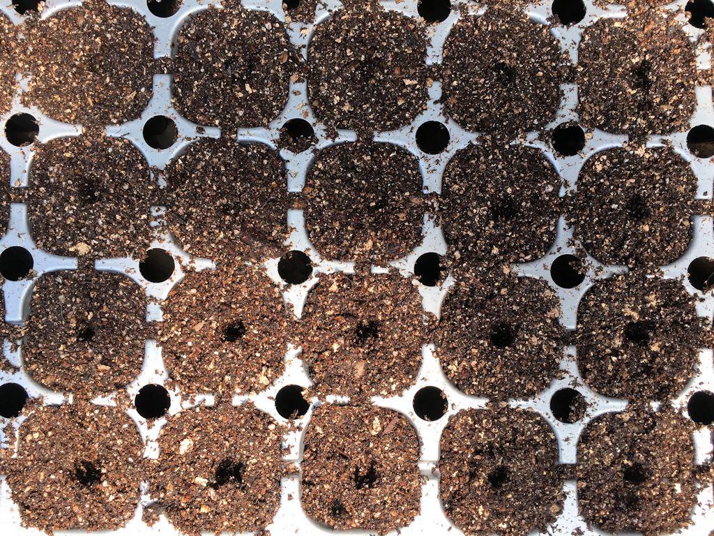 玉ねぎの播種
