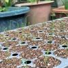 玉ねぎの発芽率90%