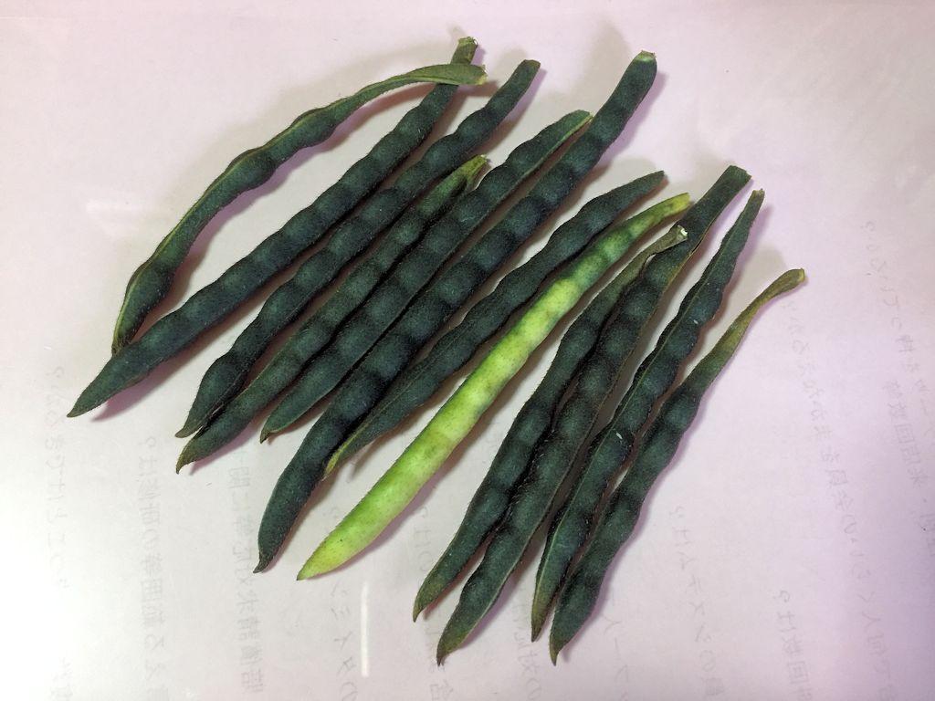 緑豆(豆もやし)