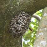 日本ミツバチ vs スズメバチ
