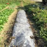 ニンニクを植える準備