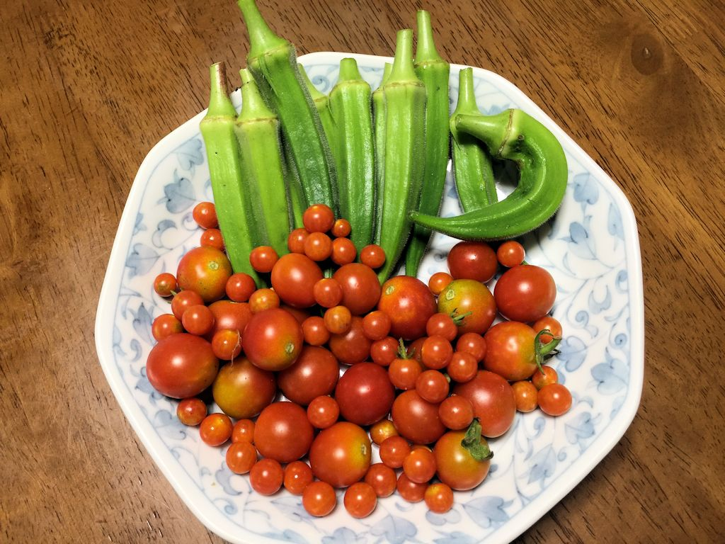 オクラ・ミニトマト・豆トマト収穫