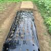 黒丸大根植えました