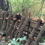 いよいよ原木椎茸の収穫が始まるか?
